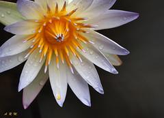 Water Lily in the Rain - Ka'anapali, Maui (Barra1man) Tags: waterlilyintherain waterlily tropical floral pond cloudy rainy blackwater kaanapali kaanapalistrip maui hawaii unitedstates resort olympus olympusem1 lens300mm iso800 f5611600
