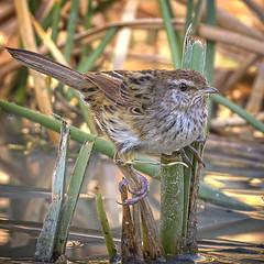 lagoon creek - little grassbird (Fat Burns ☮ (gone bush)) Tags: littlegrassbird megalurusgramineus grassbird bird australianbird fauna australianfauna wildlife australianwilslife nikond500 nikon200500mmf56eedvr outdoors nature lagooncreek barcaldine queensland australia