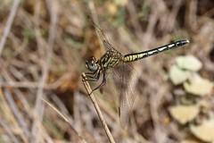 Diplacodes lefebvrii (F) (J Carrasco (mundele)) Tags: clotdegalvany elx alicante comunitatvalenciana insectos odonatos anisoptera libellulidae diplacodes