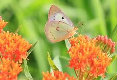 orange sulphur female nectaring on butterfly milkweed at Decorah Prairie IA 653A6178 (lreis_naturalist) Tags: orange sulphur butterfly female feeding milkweed decorah prairie winneshiek county iowa larry reis