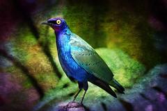 Bird (crowt59) Tags: bird yellow eye blue purple green portrait perch texture background photomorphis lr light room crowt59 disney world animal kingdom sony a6300