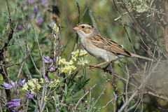 Clarke_180622_3582.jpg (www.raincoastphoto.com) Tags: spizellapallida birds birdsofbritishcolumbia birdsofnorthamerica birdsofcanada sparrows claycolouredsparrow