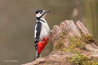 Great Spotted Woodpecker 500_9104.jpg