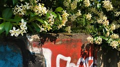 IMG_4214 (2) (kriD1973) Tags: europa europe italia italy italien italie lombardia lombardei lombardie milano milan mailand reptile rettile reptil lizard lucertola eidechse lezard animal animale tier rettili reptiles gelsomino jasminum jasmine reptilia