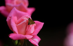 flower 1555 / insect (kaifudo) Tags: sapporo hokkaido japan botanicalgarden flower rose pinkparfeit 札幌 北海道 北大植物園 薔薇 ピンク・パフェ nikon d810 sigmaapomacro150mmf28 sigma 150mm macro kaifudo