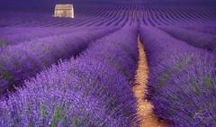 Le Plateau de Valensole (CT photographie) Tags: lavender valensole alpesdehauteprovence calme capture champs purpule hollydays paysage photographer promenade perspective provence amazing canon manfrotto