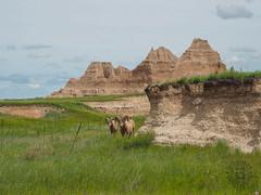 Bighorn Rams, Badlands National Park, South Dakota (netbros) Tags: badlandsnationalpark southdakota castletrail bighornsheep rams arroyo prairie netbros internetbrothers