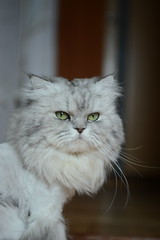 Leo (akk_rus) Tags: marcello persian cat cats pet pets chat chats animal animals nature feline gato кот коты кошка chinchilla