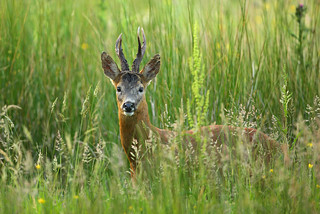 Mature Roe Buck