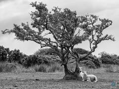 Chilling (pm69photography.uk) Tags: sheep lamb bw blackandwhite trees tree devon dartmoor atmospheric atmosphere a7r3 ilovedevon ilce7rm3 ilovedartmoor niksilverefexpro2 sony sonya7r3 sonya7riii sony70200mmf4 70200mm