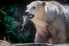 A Confident Hunter (helenehoffman) Tags: arctic chinook bear wildlife conservationstatusvulnerable mammal fish ursusmaritimus sandiegozoo ursidae polarbear animal polarbearplunge marinemammal