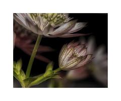 Flowers, macro 04 (cees van gastel) Tags: tussenringen ceesvangastel macro flowers bloemen natuur nature canoneos550d canon1855mm macromettussenringen extensionrings