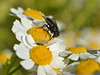 Feverfew and fly (conall..) Tags: tanacetum parthenium feverfew fly macro hairy spiky