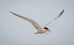 Common Tern with catch (tresed47) Tags: 2018 201807jul 20180704nynickersonbirds birds bryanscamera canon70d commontern content folder july longisland ny nickersonbeach petersphotos places season summer takenby tern us
