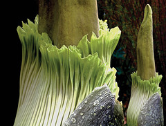 Corpse Flower - San Diego Botanical Garden (iseedre) Tags: corpseflower greenfrill smells tropical stalk