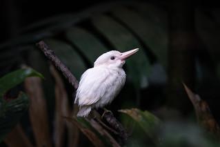 Albino Collared Kingfisher (Juvenile)