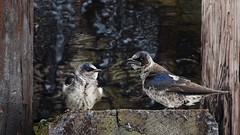 112 (2) Gossip (srypstra) Tags: purplemartin tsehumharbour dock pair