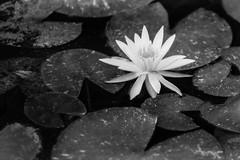 Water Lily (MichellePhotos2) Tags: water lily pond flower flora garden bw blackandwhite fmg frederikmeijergardens japanesegarden michigan westmichigan grandrapids nikon d850 nikond850 macro 150mm prime pad lake