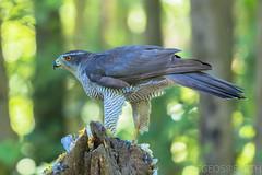 20180630-IMG_6889w (SGEOS AT EARTH) Tags: birds hide forrest hawk havik buizerd buzzard specht woodpecker koolmees squirrel eekhoorn vlaamse gaai jay eurasian