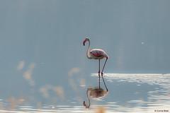 Greater Flamingo (Corine Bliek) Tags: saltpans phoenicopterusroseus vogel vogels bird birds roze rose lake meer nature wildlife natuur lesbos zoutpannen lesvos reflection reflectie pink