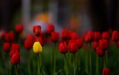 flower 1502 (kaifudo) Tags: sapporo hokkaido japan maruyamapark flower tulip 札幌 札幌市 北海道 円山公園 チューリップ nikon d810 nikkor afs 70200mmf28gedvrii 70200mm kaifudo