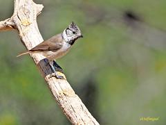 Herrerillo capuchino (Lophophanes cristatus) (3) (eb3alfmiguel) Tags: aves insectívoros paridae herrerillo capuchino lophophanes cristatus