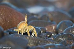 Cangrejo Fantasma, Ghost Crab (Ocypode sp) (Corriplaya) Tags: caboverde cangrejofantasma ghostcrab ocypode corriplaya cangrejo crab