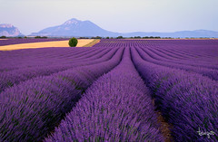 Lavender fields (toniyoo) Tags: lavender lavanda valensole france flowers fields sunset