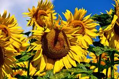 Or du temps... (Diegojack) Tags: d7200 nikon nikonpassion echandens vaud suisse campagne plantes fleurs jaune tournesols lumineux été