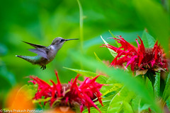 Ruby-throated hummingbird (AllTheGoodIDsAreTaken) Tags: hummingbird newjersey rubythroatedhummingbird