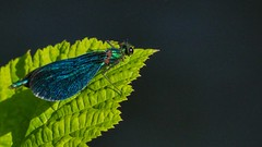 Blue - 5497 (ΨᗩSᗰIᘉᗴ HᗴᘉS +18 000 000 thx) Tags: blue insect macro faune fauna butterfly hensyasmine namur belgium europa aaa namuroise look photo friends be wow yasminehens interest intersting eu fr greatphotographers lanamuroise tellmeastory flickering 7dwf