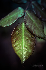 Morning dew (johanna151) Tags: dew drops leaf leaves green nature close up macro plant garden