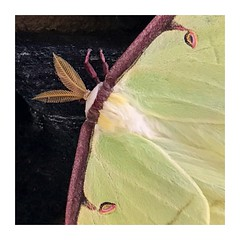 Leafy antennae. (jeanne.marie.) Tags: summer iphoneography iphone7plus 100x2018 nature patternsinnature moth antennae