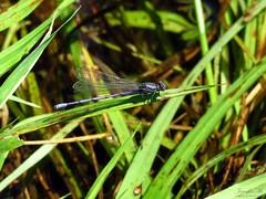 Variable Dancer IMG_6704 (Jennz World) Tags: ©jennifermlivick mountpleasantnaturepark mountpleasant mtpleasant ontario canada dragonfly damselfly
