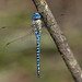 Southern migrant hawker (Priddy Mineries) (Steve Balcombe) Tags: insect dragonfly southern migrant blueeyed hawker odonata anisoptera aeshnidae aeshna affinis priddy mineries mendips mendiphills somerset uk