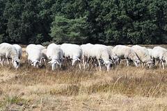 Edese heide (wimrozenberg) Tags: schapen edeseheide schaapskudde bomen bos gras heide