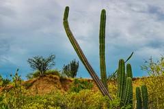 Cactus (Stefania Avila) Tags: cactus desierto tatacoa nature naturaleza landscape flowers