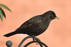 Blackbird F00271 D210bob DSC_3343 (D210bob) Tags: blackbird f00271 d210bob dsc3343 nikond7200 naturephotography naturephotos nikon wildlifephotography
