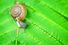 Closeup snail on a green leaf (Patrick Foto ;)) Tags: abstract animal background beautiful beauty bright brown close closeup crawling dew drop environment food forest fresh garden grass green helix insect leaf life macro meadow mollusk mucus natural nature outdoor plant rain shell slime slimy slow slug small snail spiral spring summer textured up water wet white wildlife yellow