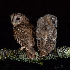 Bookends (Mr F1) Tags: wild to tawnyowl owlet young nature wiuldlife outdoors wales welshwoodland forest nightphotography bop birdsofprey raptor detail