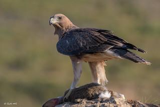 Águila perdicera (juvenil)