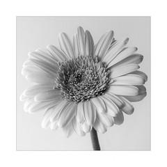 Gerbera (Gérard Boisnard) Tags: nature fleurs flowers flore gerbera macro boisnard
