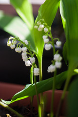Flower stalks (daniel.lih.photography) Tags: seattle spring flower bulb springbulb plant plants freelensing freelens bloom 2018 garden gardening canonbody nikonlens winterbulb whiteflower lilyofthevalley lily valley convallariamajalis convallaria majalis closeup springflower sun sunlit