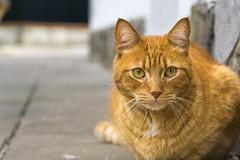 DSC04244-1 (pablodoncor) Tags: sonya6000 sel18135 argentina 2018 belgrano buenosaires gato pet mascota cat look bokehstandard bokeh