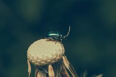 The view (JWB Creative Life) Tags: beetle bug view dandelion seeds insect macro fuji laowa nature