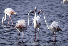 Desafiándose (ibzsierra) Tags: ibiza eivissa baleares canon 7d tamron g2 150600 flamenco flamingo ave bird ouseau salinas parque natural pelea bronca