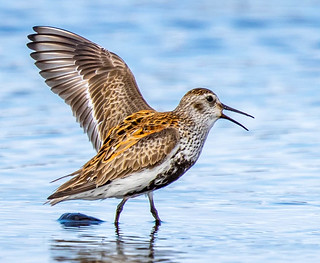 Dunlin in the Western Fjords, Iceland