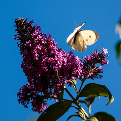 365.196 & 100x.62 - Jammy timing (AmyGStubbs) Tags: 100xthe2018edition 100x2018 15jul18 2018 365the2018edition 3652018 buddleja butterfly day196365 e30 image62100 olympus sigma105mmf28exdgmacrofourthirds
