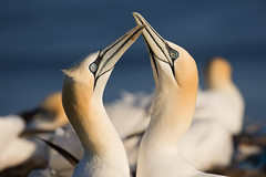 Northern gannet - Basstölpel (rengawfalo) Tags: morusbassanus northerngannet basstölpel bird tölpel vogel birder birding natur nature wildlife animal portrait outdoor water