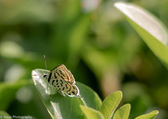 Butterfly. Tarucus sps (Balaji Photography - 5 M views and Growing) Tags: butterfly insects insect garden gardens canon canondslr canoneos canon70d chennai chennaireflections chennaiphotos chennailife colours colourful